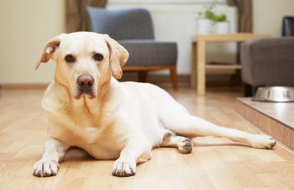Além de passeios, cachorros precisam de cuidados especiais dentro de casa para não causar problemas e acidentes (Foto: Shutterstock)