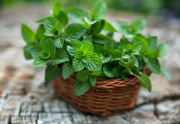 A hortelã pode ser cultivada em vasos e gosta de sol, solo úmido e rico em matéria orgânica (Foto: Shutterstock)
